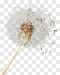 Сlipart Dandelion Wishing Blowing Pollen Wind photo cut out BillionPhotos