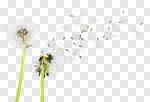 Сlipart Dandelion Dandelion Green Blowing Sowing Sky photo cut out BillionPhotos