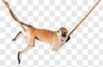 Сlipart Monkey Animal Orangutan Ape Hanging photo cut out BillionPhotos