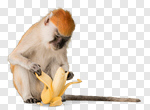 Сlipart Monkey Banana Primate Isolated Eating photo cut out BillionPhotos