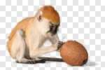 Сlipart Monkey Primate Isolated Macaque Animal photo cut out BillionPhotos