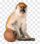 Сlipart Monkey Banana Primate Isolated Eating photo cut out BillionPhotos