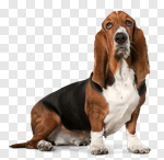 Сlipart Dog Basset Hound Hound Isolated White Background photo cut out BillionPhotos