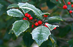 Сlipart Christmas Snow Holly Winter Berry Fruit photo  BillionPhotos