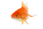 Сlipart Goldfish Fish Underwater Close-up Pets photo  BillionPhotos