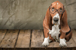 Сlipart Dog Glasses Humor Intelligence Animal   BillionPhotos