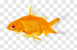 Сlipart Fish Goldfish Gold Isolated Animal photo cut out BillionPhotos