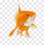 Сlipart Goldfish Fish Underwater Close-up Pets photo cut out BillionPhotos